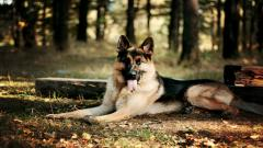 German Shepherd Dog Desktop Wallpaper 49107