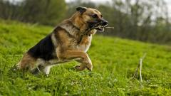 German Shepherd Playing Wallpaper 49103