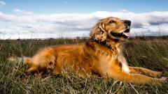 Golden Retriever Dog Wallpaper 49693