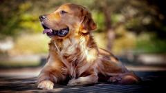 Golden Retriever Dog Wide Wallpaper HD 49692