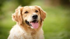 Golden Retriever Dog Widescreen Wallpaper 49689