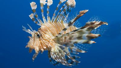 Lionfish Desktop Wallpaper 52575