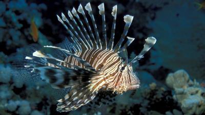 Lionfish Desktop Wallpaper 52579