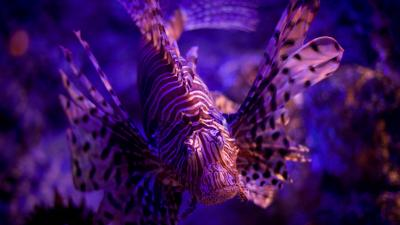Lionfish Wallpaper Background HD 52578