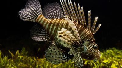 Lionfish Widescreen HD Wallpaper 52577
