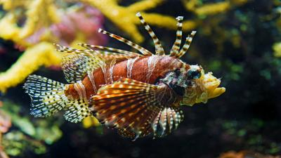 Lionfish Widescreen Wallpaper Pictures 52574