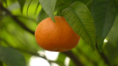 Mandarin Orange Widescreen Wallpaper 54251