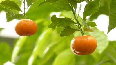 Mandarin Oranges HD Wallpaper 54254