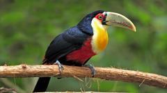Toucan Bird Wallpaper 49699