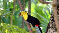 Toucan Bird Wide Wallpaper HD 49700