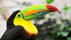 Toucan Bird Widescreen Wallpaper 49695