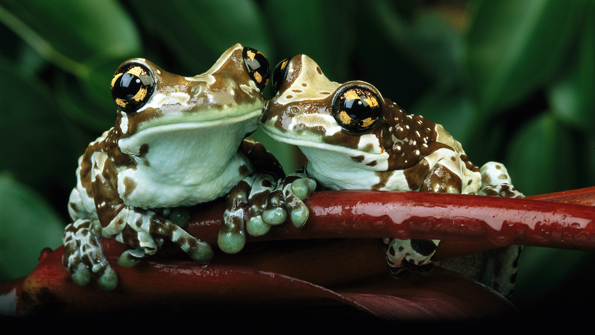Frog Wallpaper 50805 1920x1080 Px HDWallSource