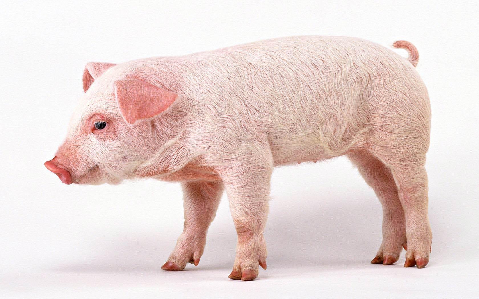 pig computer wallpaper 51672