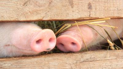 Animals Pig Noses Wallpaper Background 51670