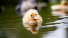 Duckling Computer Wallpaper 51166