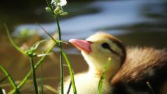 Duckling Desktop HD Wallpaper 51169