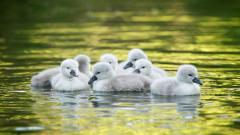 Duckling Desktop Wallpaper 51163