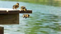Duckling Jumping Wallpaper Pictures 51170