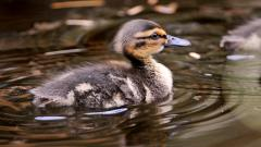 Duckling Swimming Computer Wallpaper 51165