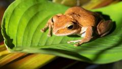 Frog Wallpaper Pictures 50808