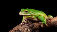Green Frog Desktop Wallpaper 50800