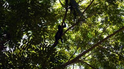 Howler Monkey Costa Rica Wallpaper 55588