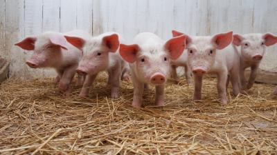 Pig Widescreen Wallpaper 51673