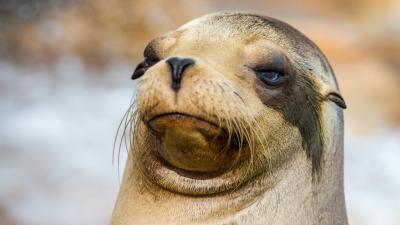Sea Lion Face Desktop Wallpaper 52663