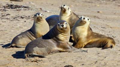 Sea Lion Family Wide Wallpaper 52662