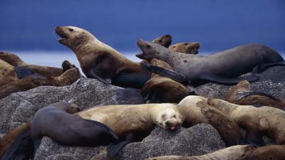 Sea Lion Wallpaper Background 52664