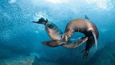 Sea Lion Wide Wallpaper Pictures 52665