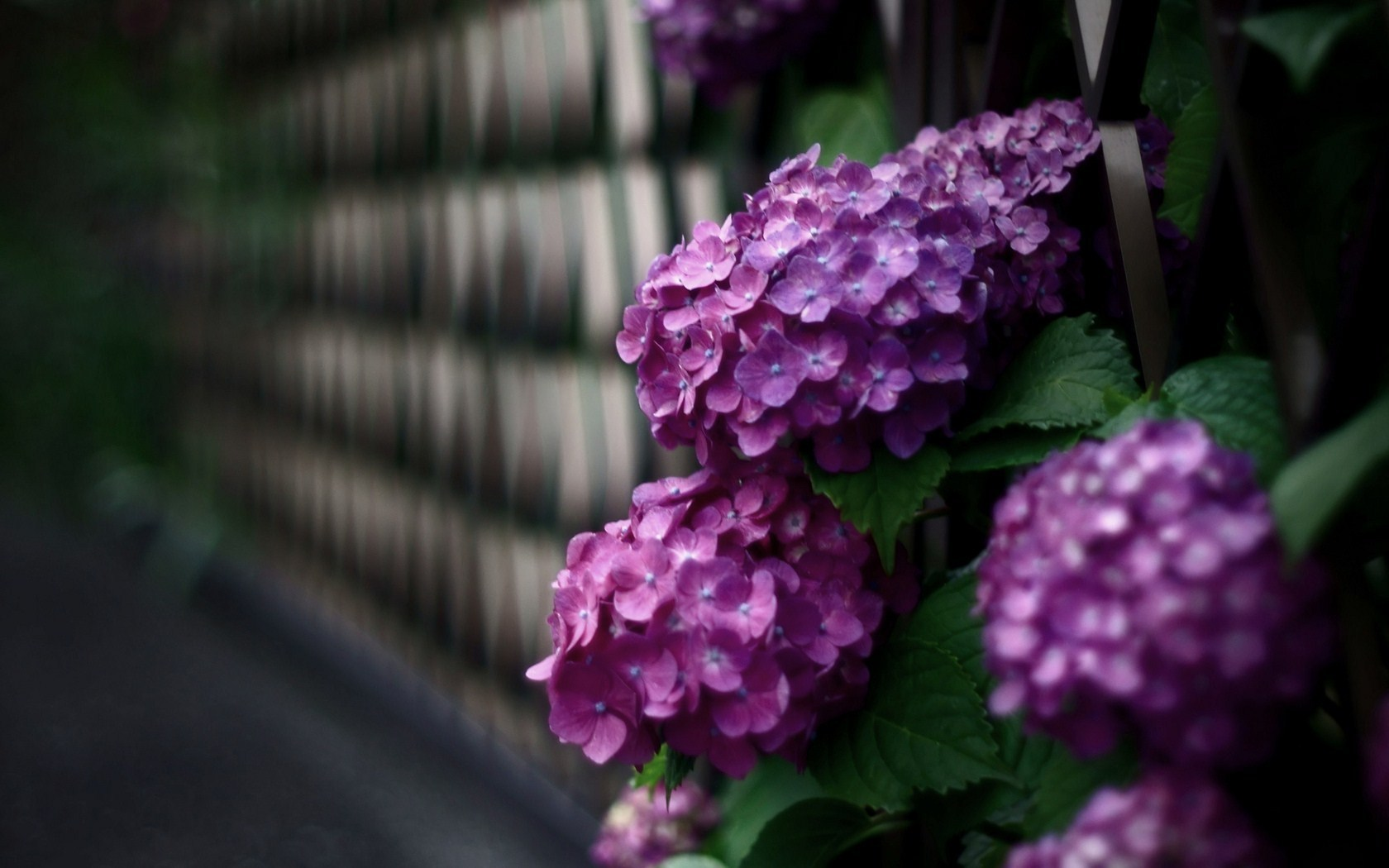 hydrangea flowers wallpaper pictures 49014 1680x1050 px
