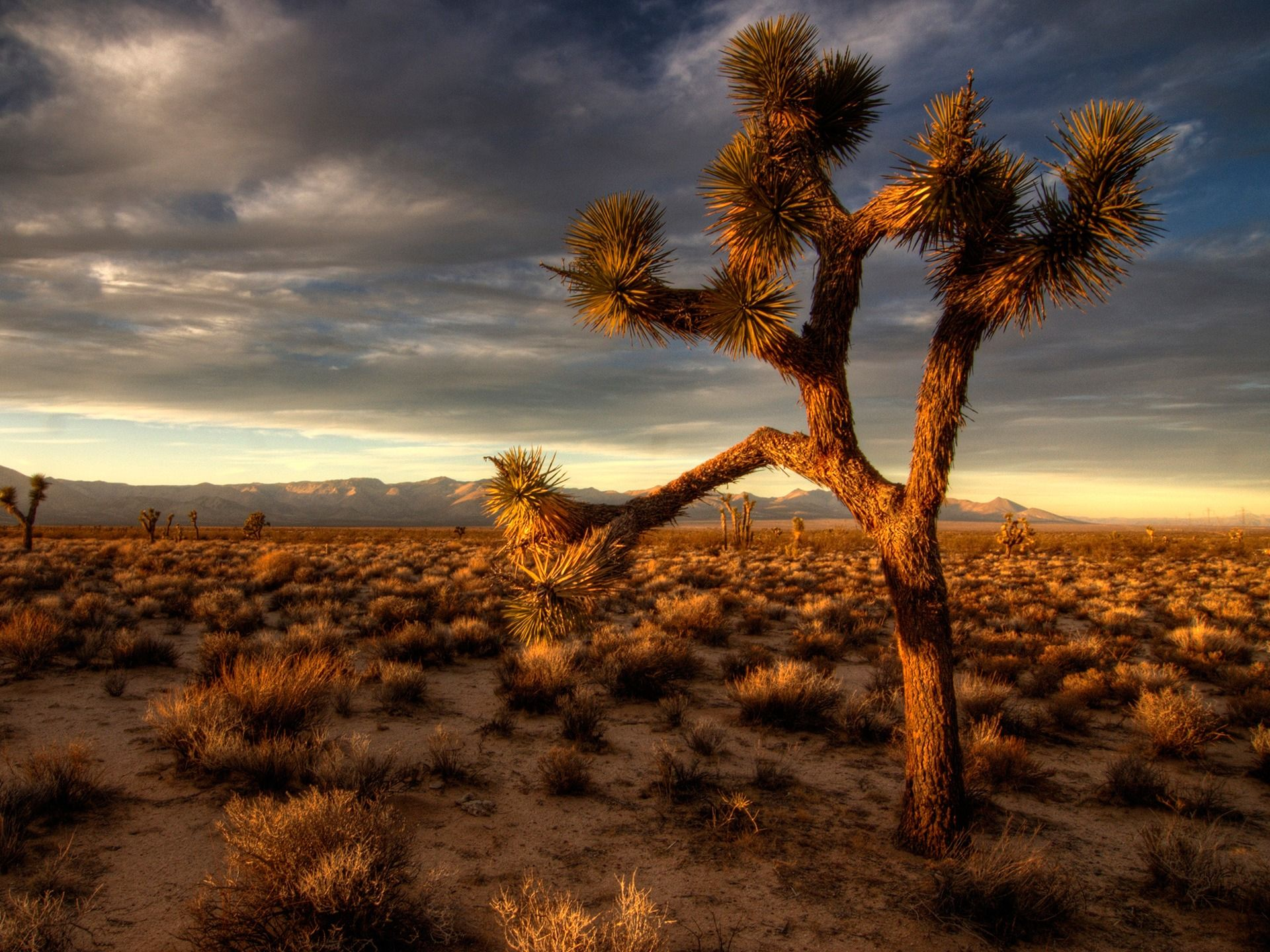 joshua tree computer wallpaper 53125