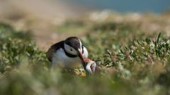 Cute Puffin Birds Wallpaper 50116