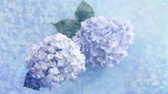 Hydrangea Desktop Wallpaper 49015