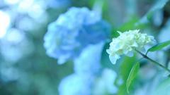 Hydrangea Flower Desktop Wallpaper 49013