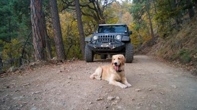Jeep Wrangler Sport With Golden Retriever Wallpaper 57935