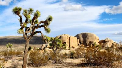 Joshua Tree Wide Wallpaper 53124