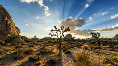 Joshua Tree Widescreen HD Wallpaper 53123