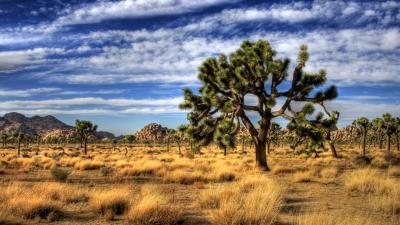 Joshua Tree Widescreen Wallpaper 53120