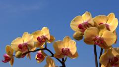 Orchid Flowers Wallpaper 49021