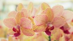 Orchid Flowers Wallpaper Background 49017