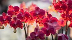 Orchid Flowers Wallpaper HD 49018