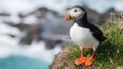 Puffin Bird Wallpaper HD 50118