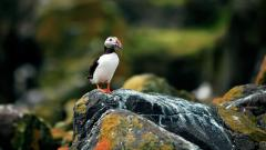 Puffin Bird Wallpaper Pictures 50119
