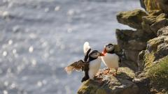 Puffin Birds Wide Wallpaper 50121