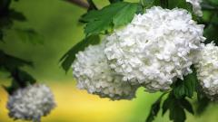 White Hydrangea Flowers Wallpaper 49012