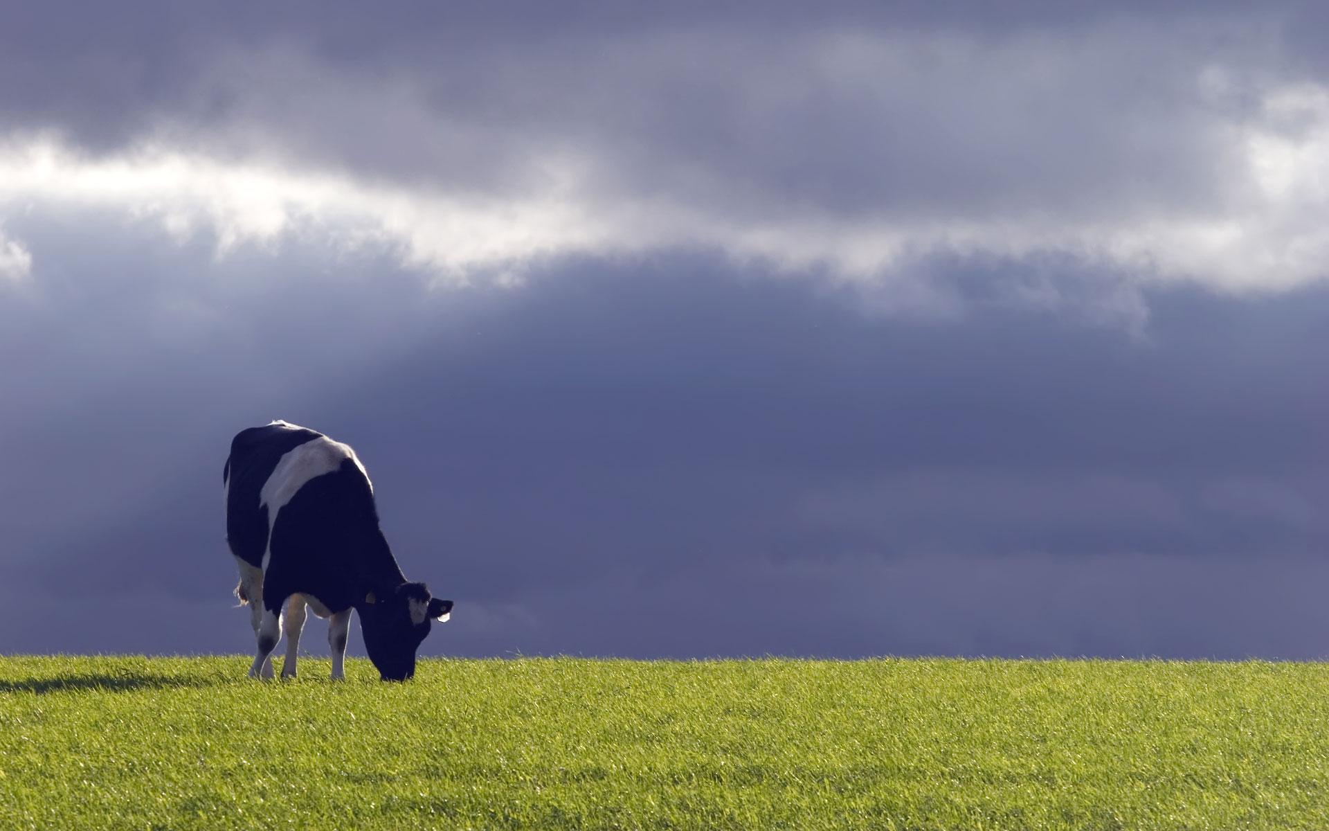 cow grazing desktop wallpaper 51978 1920x1200 px