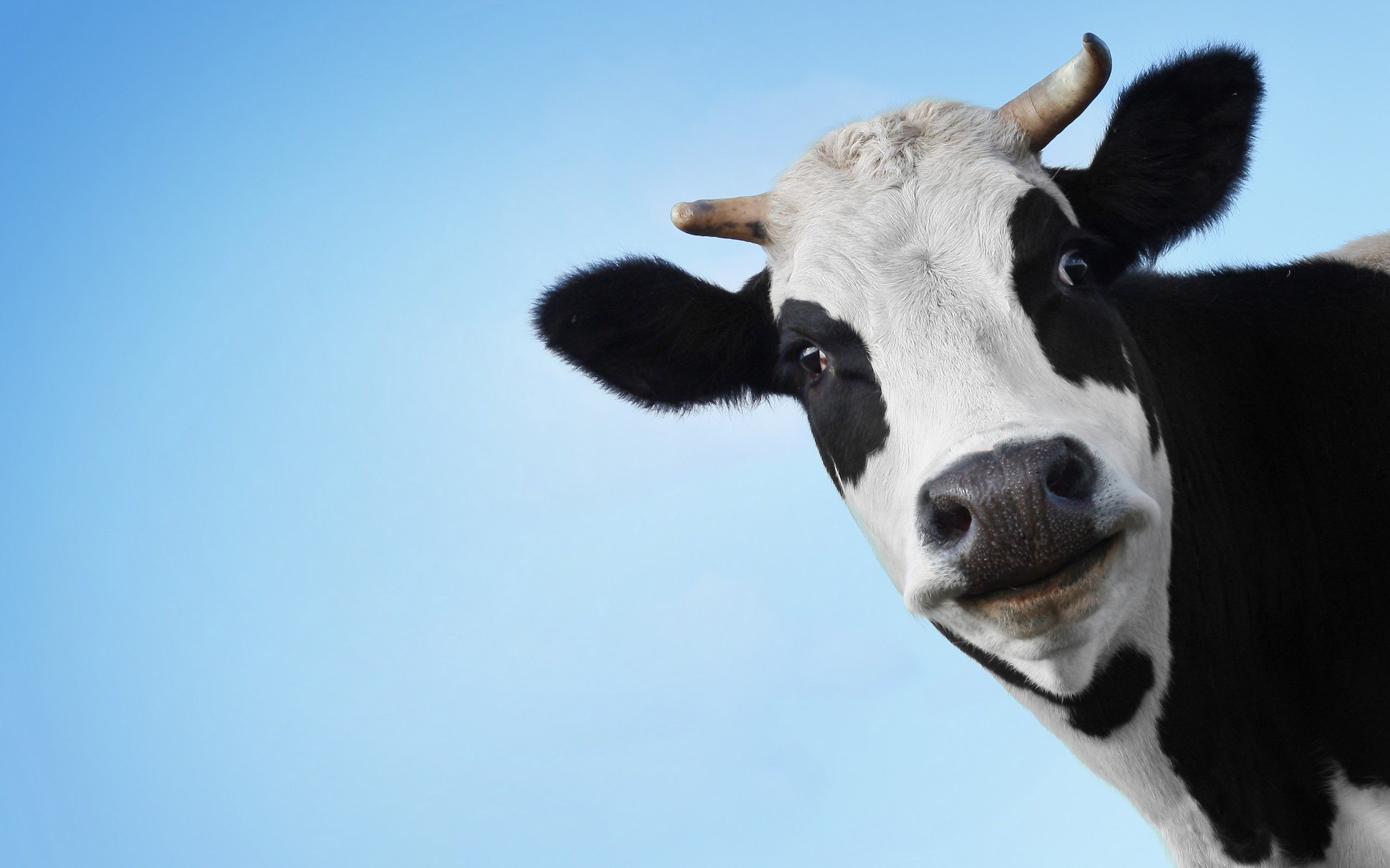 Funny Cow Face Wallpaper Background 51979 2560x1600 px