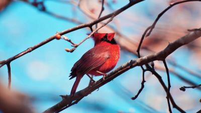 Cardinal Bird Computer Wallpaper 52162